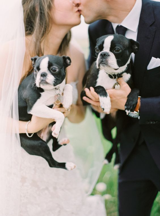 bride and groom kissing with frenchies