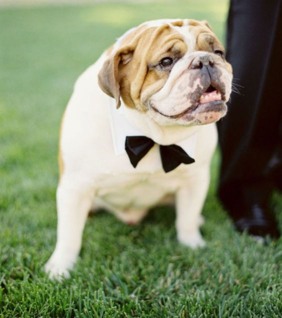 bulldog with bow-tie